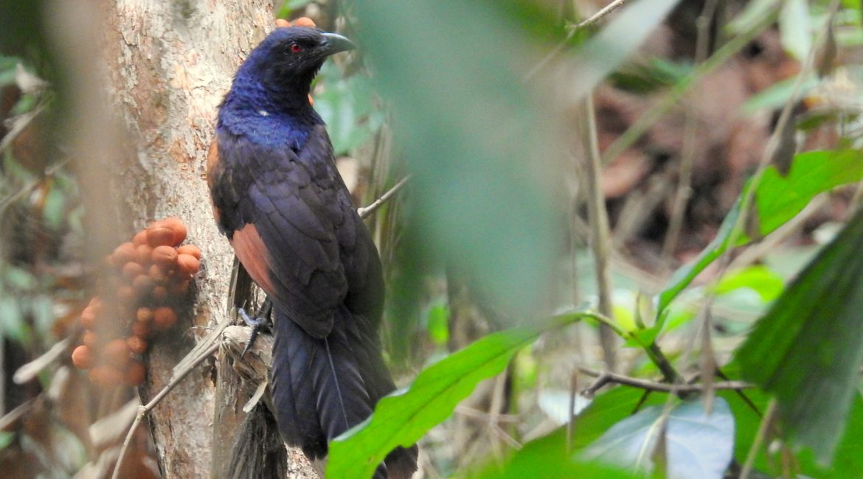 Burung Bubut Jawa ©Nurina Indriyani