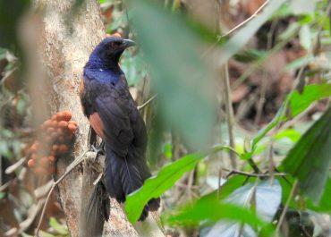 Burung Endemik Jawa yang Rentan dan Mencoba Bertahan